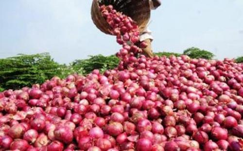 Sénégal : vers la construction d'une usine de déshydratation d'oignons