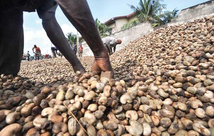 Casamance: la mévente de près de 7.000 tonnes de noix de cajou installe le malaise chez les traders