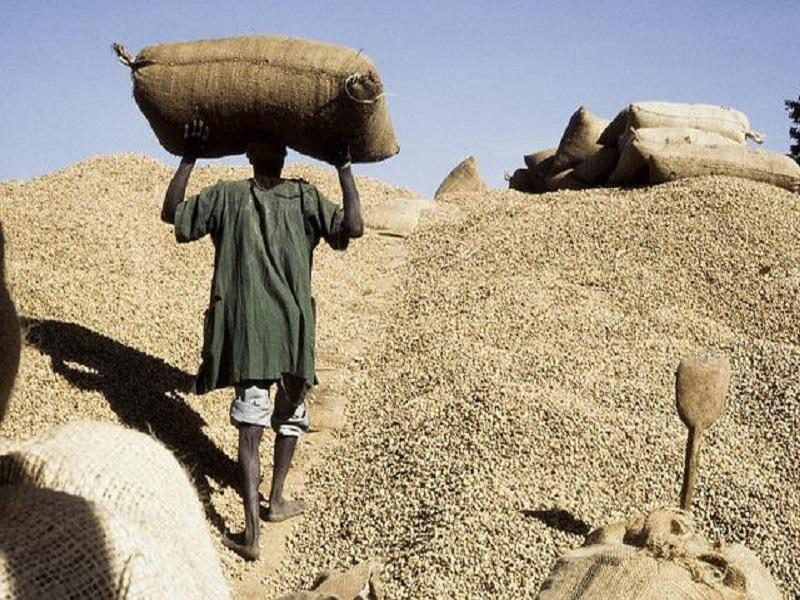 Campagne agricole 2020:  le prix au producteur de l'arachide fixé à 250 F Cfa