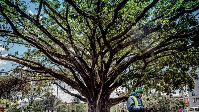 Le mystique figuier centenaire qui fait reculer les autorités kenyanes