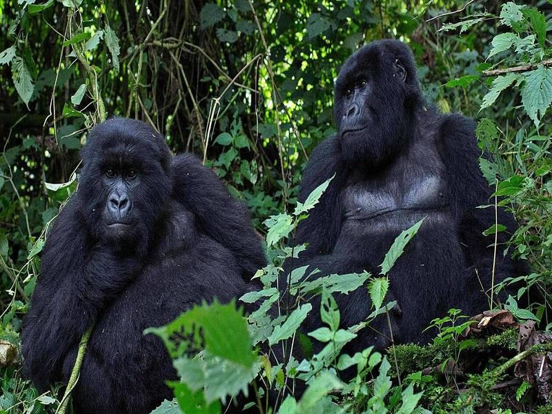 En Californie, des gorilles du zoo de San Diego testés positifs au Covid-19