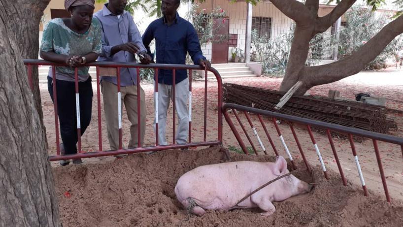 Complaintes éleveurs de Porcs: Quand le «Niamu Mbaam… » devient introuvable