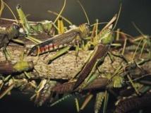 Madagascar menacée d'ne invasion de criquets.