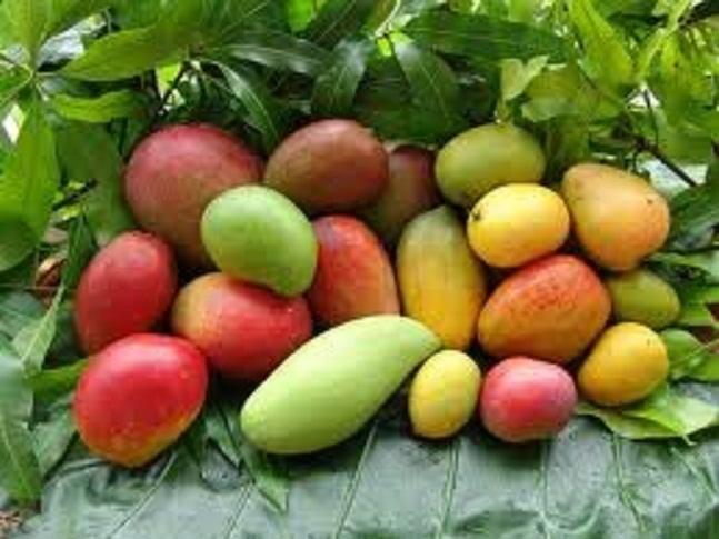 Production de mangues en Casamance : l'USAID et ses partenaires déclenchent la chasse aux mouches à fruits