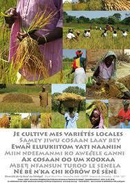 Renforcement des systèmes semenciers en Afrique de l'Ouest : la CEDEAO s'appuie sur le CORAF/WECARD