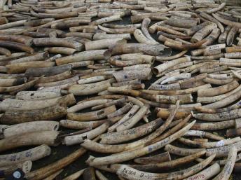 Saisie d'ivoire record au Kenya