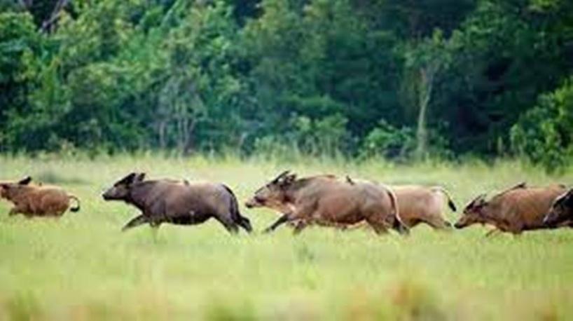 Gabon: à Pongara, les animaux font leur retour