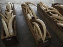 Des containers remplis d'ivoire saisis à Hong-Kong, le 7 août 2013. REUTERS/Bobby Yip