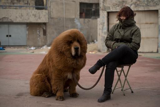 Chine: le zoo qui faisait passer un chien pour un lion ferme