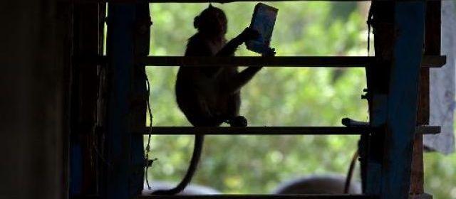 Thaïlande: un village pillé par des bandes de macaques