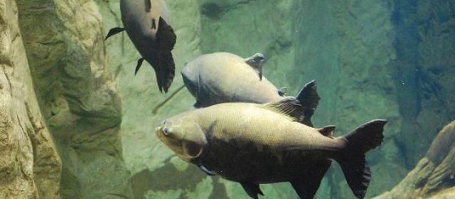 Un pacu, poisson réputé mangeur de testicules, pêché dans la Seine