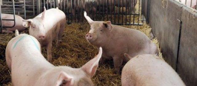 Un opérateur de porcheries condamné pour le cris de ses cochons