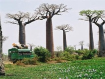 Des baobabs, le long d'une route de campagne à Madagascar. Jean-Pierre Malavialle/wikimediaorg