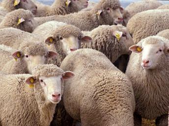 Des milliers de moutons espagnols débarquent en Tunisie pour l'Aïd