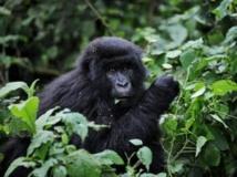 Fin 2008, le parc national des Virunga, en RDC, était le refuge de 200 des 700 derniers gorilles des montagnes encore en vie. (Photo : AFP)