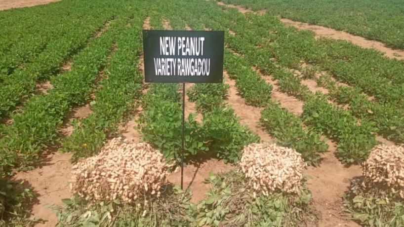 Agriculture Intelligente: de nouvelles variétés de graines plus performantes et plus riches expérimentées par l'ISRA pour