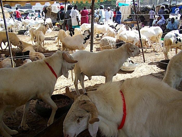 Rareté et cherté du mouton : l'ASCOSEN accuse l'Etat et les acteurs de l'élevage