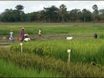 Lancement de l'«offensive riz» en Côte d'Ivoire