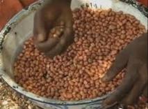 Encore un scandale de détournement  de 20 milliards dans les marchés de semence d'arachide