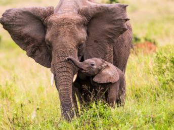Un éléphant d'Afrique (Kenya) et son éléphanteau. Sadi Ugur OKÇu