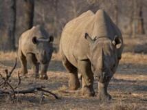 Etats-Unis: la chasse au rhinocéros namibien fait polémique