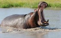 L'imam Mbaye Niang propose le transfert de l'hippopotame de Gouloumbou à Niokolo-Koba