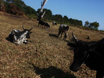 Madagascar: les forces de l'ordre abattent 15 voleurs de boeufs