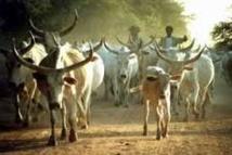 Linguère-Région de Louga: Arrestation du  voleur de taureaux