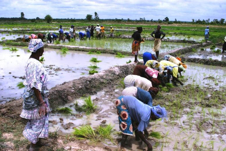 Compétitivité du riz de la vallée du fleuve Sénégal : les recommandations ramènent l'espoir