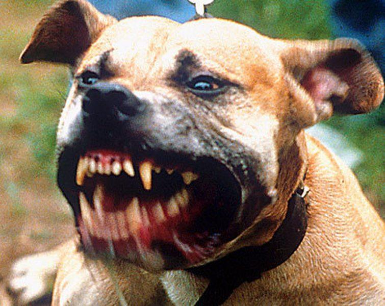 Cité Takoo-Rufisque Nord : un pitbull dévore la nuque d'un garçon de 11 ans
