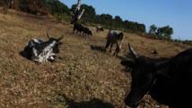 Le pouvoir malgache annonce un renforcement des moyens pour lutter contre les dahalos, les voleurs de boeufs, le 11 septembre 2012. AFP PHOTO / ANDREEA CAMPEANU