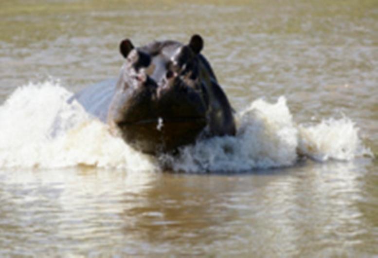 Malédiction ou loi du plus fort dans le monde animal: tout sur le « monstre » de Gouloumbou