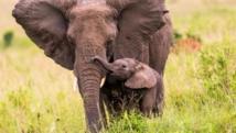 Un éléphant du Kenya et son éléphanteau. Sadi Ugur OKÇu