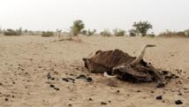Les vaches sont les plus touchées par cette situation de sécheresse. AFP PHOTO/ ISSOUF SANOGO