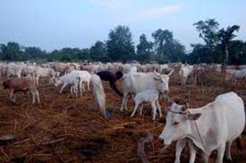 """Vélingara : un éleveur porte plainte pour """"empoisonnement"""" d'une partie de son bétail"""