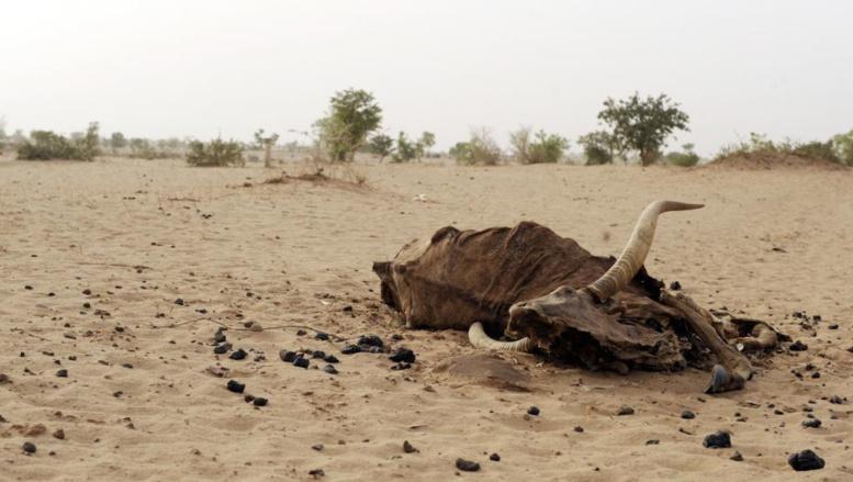 Dans certaines régions du Mali, la sécheresse est telle, que les vaches n'ont plus de quoi se nourrir. AFP PHOTO/ ISSOUF SANOGO