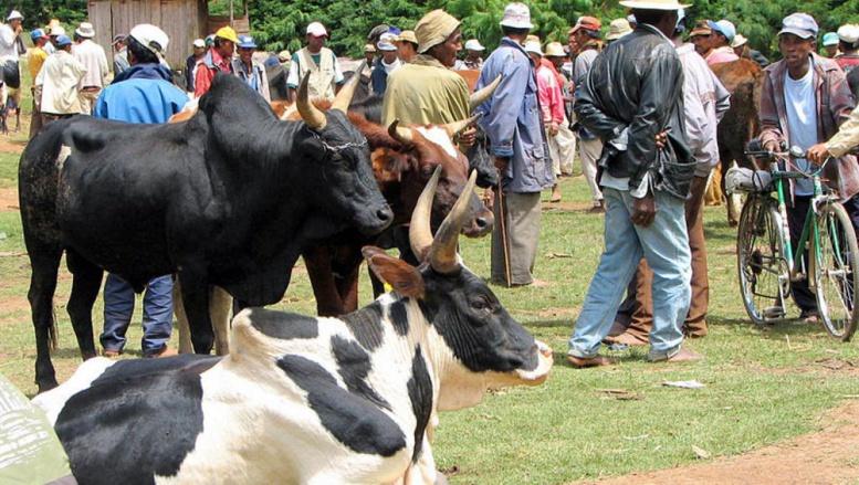 Des zébus au marché de Ambatolampy, à Madagascar. Creative commons/Bernard Gagnon