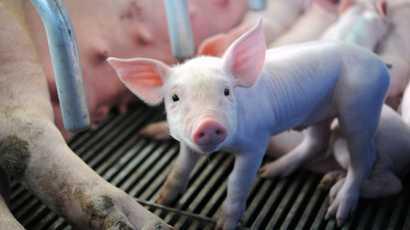 Peste porcine en Côte d'Ivoire