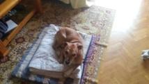 Ebola : le chien de l'aide-soignante espagnole contaminé menacé d'euthanasie