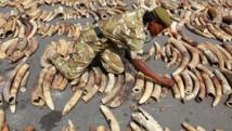 Saisie de défenses d'éléphants au Kenya. Le braconnage est en constante augmentation dans ce pays. Harambee Kenya