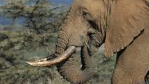 Les éléphants du Mali menacés