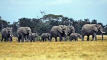 Le Zimbabwe compte 80 000 éléphants sur son territoire.