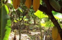 Cacao: plus de 8 Mds FCFA décaissés sur 4 ans pour lutter contre le Swollen Shoot en Côte d'Ivoire