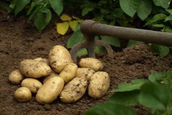 Lancement de la campagne de commercialisation de la pomme de terre