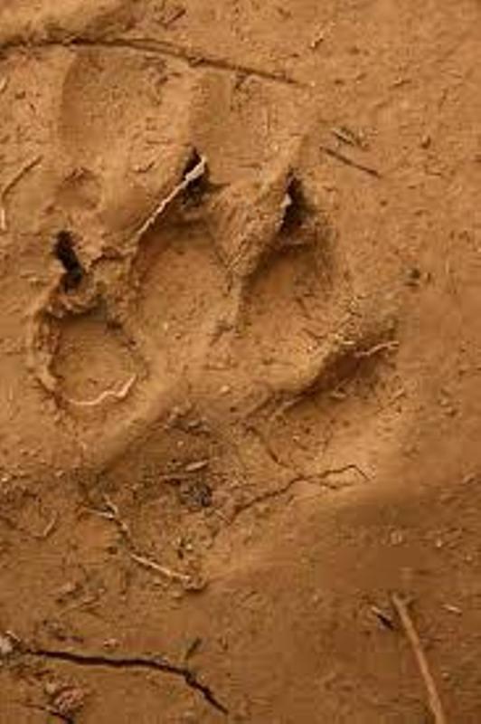 Parc Niokolo koba: des traces de pattes d'hyènes découvertes à côté des sandales de l'enfant disparu