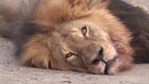 Le lion Cecil, à la crinière partiellement brune, était une icône au Zimbabwe. Capture d'écran Youtube / Bryan Orford
