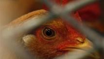 La Côte d'Ivoire peine à contenir l'épidémie de grippe aviaire