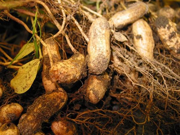 Commercialisation de l'arachide : Macky demande aux paysans d'éviter de brader leurs récoltes