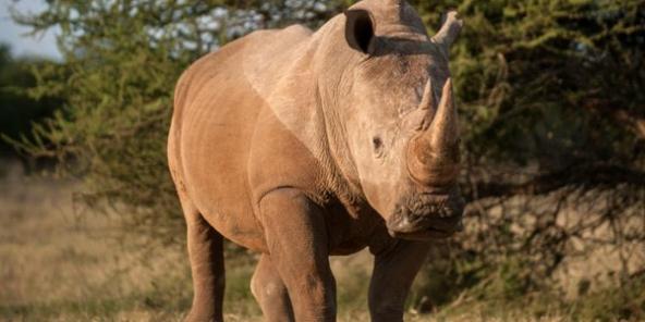 Afrique du Sud : la vente de corne de rhinocéros autorisée pour lutter contre… le braconnage