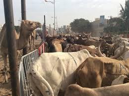 Forail de Mbao: la mésentente s'installe entre éleveurs sénégalais et étrangers